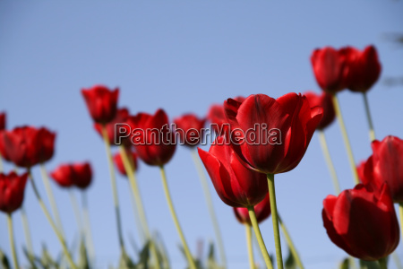 red tulips field on a blue