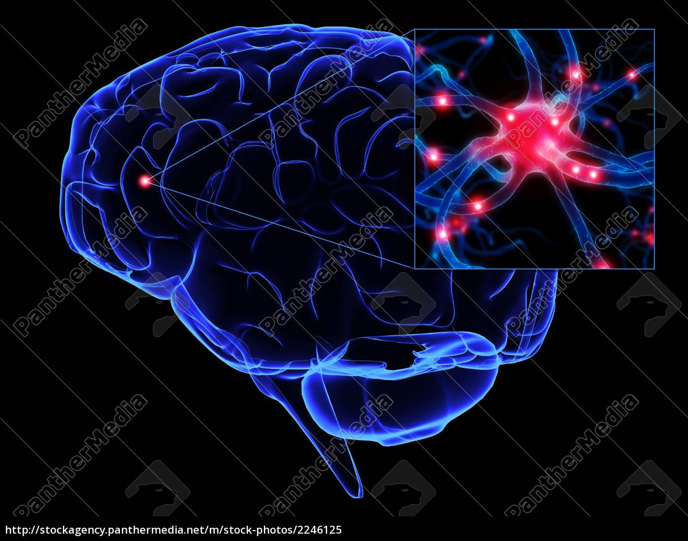 las células cerebrales y neuronas - Foto de archivo - #2246125 ...