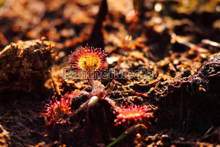 round leaved sundew in the bog