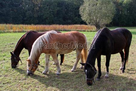 trio de caballos