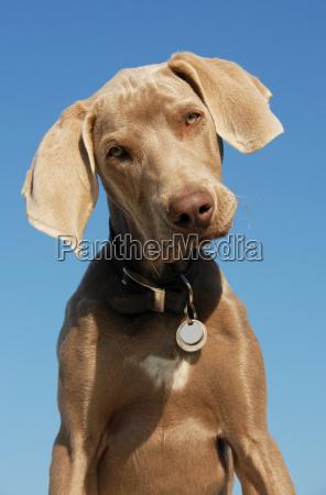 azul perro cachorro gris