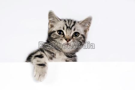 gatito britanico de shorthair