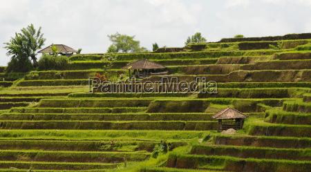 los campos de arroz bali