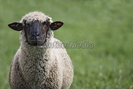obstinado oveja jefe a pesar de