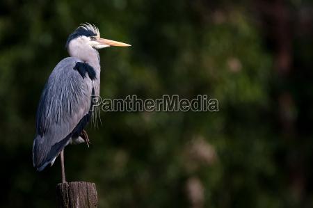 heron posing
