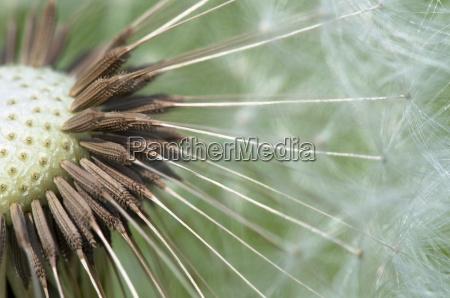 flor planta diente de leon ordinario