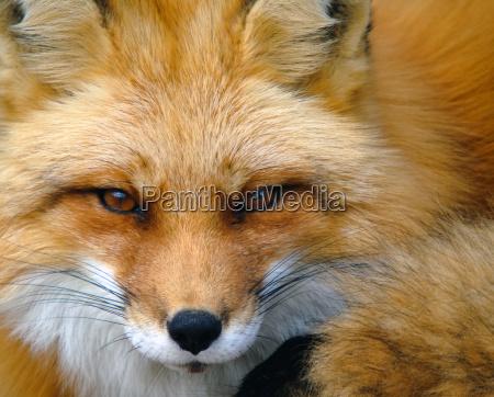 retrato de zorro rojo