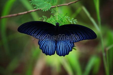 azul luz mariposa ala tailandia polilla