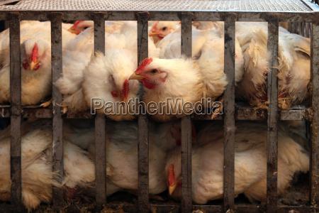 ganado pollos pollo