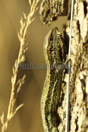 moor lizard zootoca vivipara