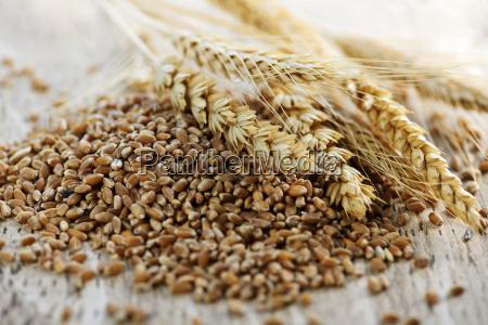 grano entero granos de trigo primer
