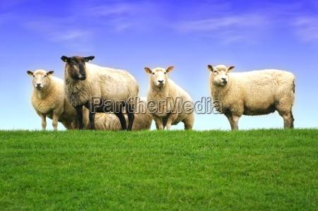 ovejas del mar del norte en