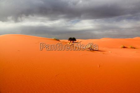 desierto africa palma duna marruecos palmeras
