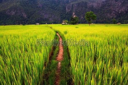 agricola agricultura campo de maiz campo