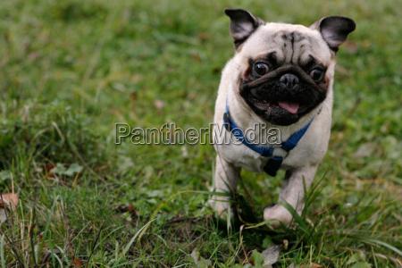 perro rabia pedigri del perro pug