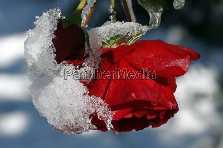 invierno flor rosa planta nieve rojo
