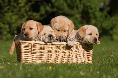 cachorros de labrador en la cesta