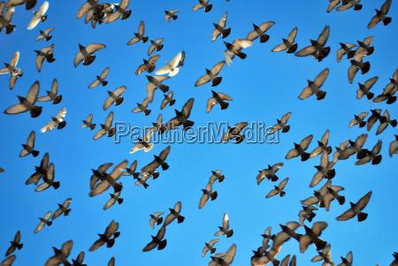 muchas palomas voladoras
