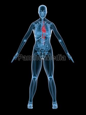 female anatomy heart