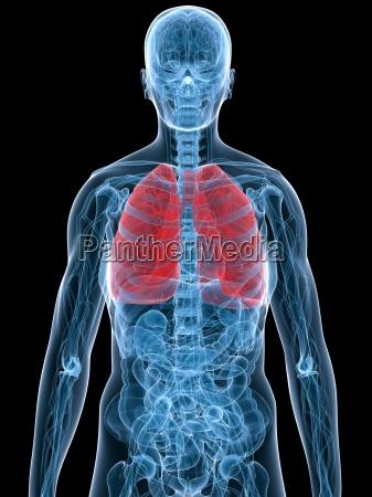 pulmon resaltado