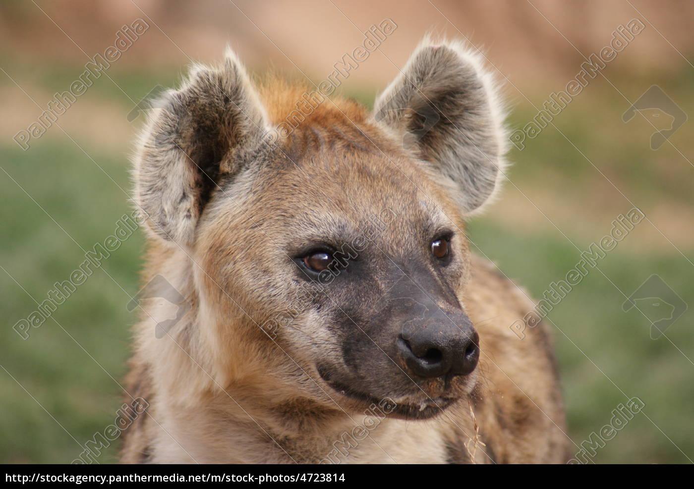 Stockphoto 4723814 - manchado risas hiena crocuta crocuta