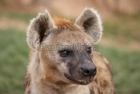 manchado, (risas), hiena, -, crocuta, crocuta - 4723814