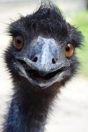 curioso emu