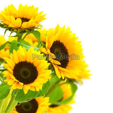 jardin flor planta girasoles cesped amarillo