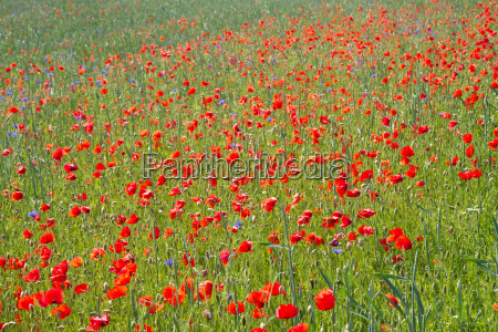 blooming poppy field papaver rhoeas in