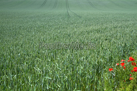 wheat field in bavaria