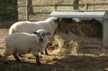 alimentacion de los ovinos