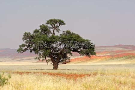 arbol namibia duna acacia cielo arenas