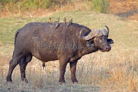 toro bufalo africano
