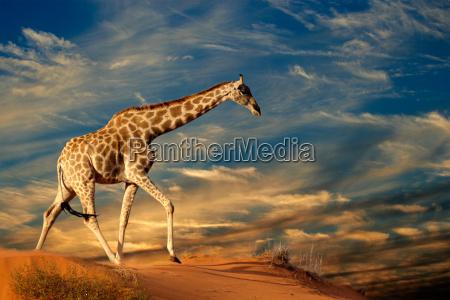 jirafa en duna de arena