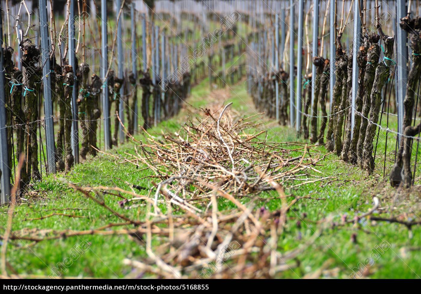 viñas, en, primavera - 5168855