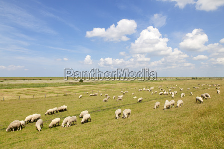 rebanyo de ovejas en frisia oriental
