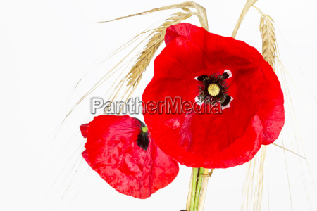 blooming poppy papaver rhoeas with barley