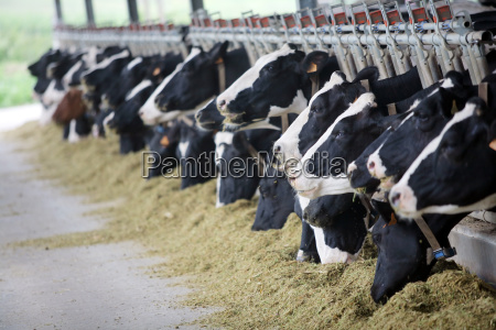 vacas holstein