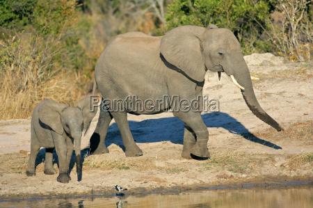 elefantes africanos en el pozo de