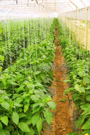 jardin vegetal cama paprika pimientos jardines