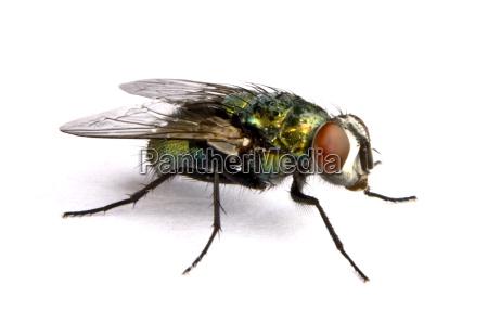 mosca domestica iridiscente en cierre para
