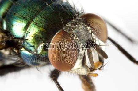 animal insecto volar freno cabeza