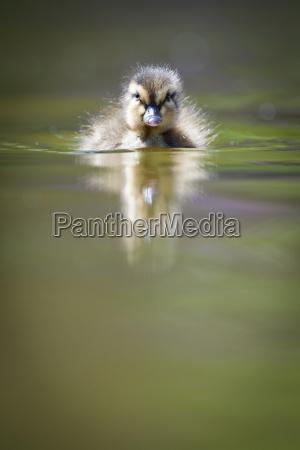 lindo patito nadando en el agua