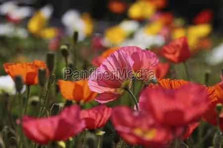 amapolas coloridas