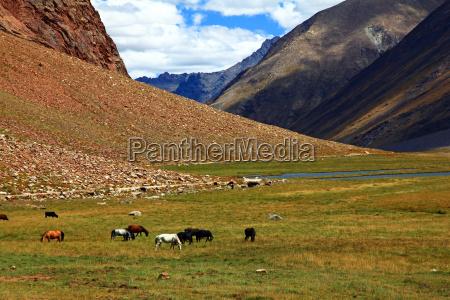 tibet montanya himalaya hochmoor zanskar ladakh