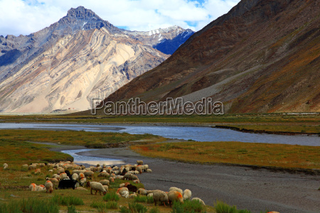 cabra india oveja lana manada montanya