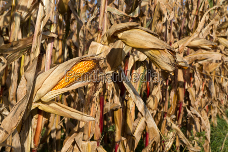 corn cob in the cornfield before