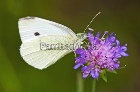 gran repollo blanco pieris brassicae