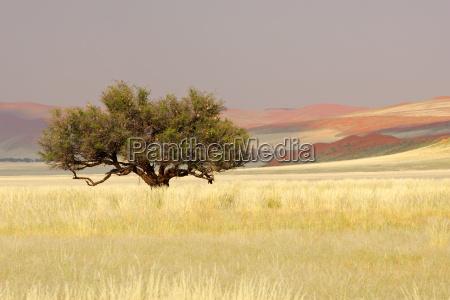 Arbol de acacia africano