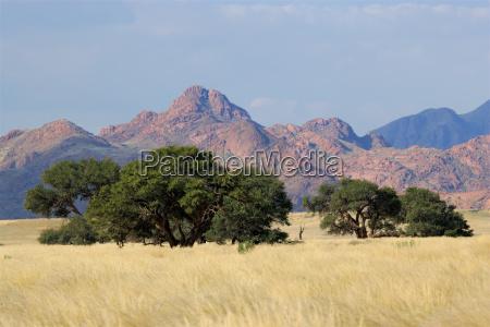 arbol desierto hierbas acacia paisaje naturaleza